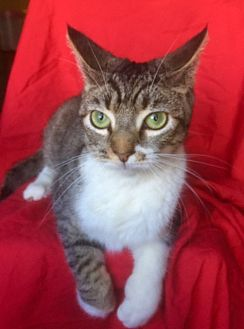 Domestic Shorthair Kitten for adoption in Santa Monica, California - APRIL