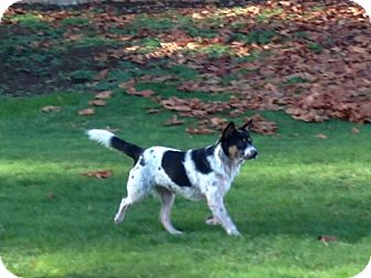 Border Collie/Australian Cattle Dog Mix Dog for adoption in Gig Harbor, Washington - Montana