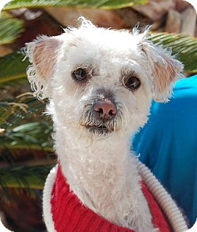 Miniature Poodle Mix Dog for adoption in Las Vegas, Nevada - Terri