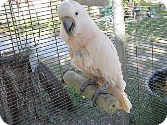 Cockatoo for adoption in Christmas, Florida - Murphy