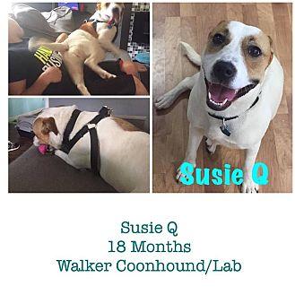 Labrador Retriever/Treeing Walker Coonhound Mix Dog for adoption in Trenton, New Jersey - Susie Q