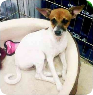 Jack Russell Terrier/Chihuahua Mix Puppy for adoption in Gilbert, Arizona - J.R.