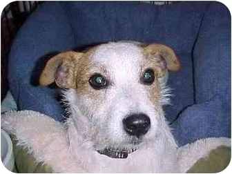 Jack Russell Terrier Dog for adoption in Thomasville, North Carolina - Buster