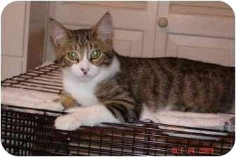 Domestic Shorthair Kitten for adoption in Fountain Valley, California - Hannah