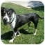 Photo 2 - Labrador Retriever/American Pit Bull Terrier Mix Dog for adoption in San Clemente, California - VAN