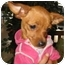 Photo 2 - Miniature Pinscher/Chihuahua Mix Puppy for adoption in Poway, California - KHLOE