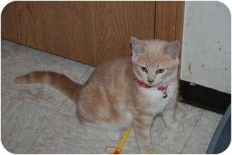 Domestic Shorthair Kitten for adoption in Rosemount, Minnesota - Tammy