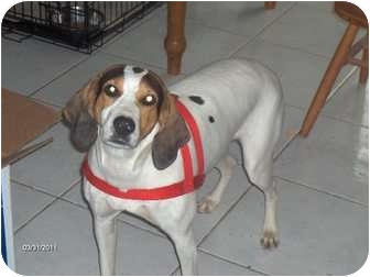 Hound (Unknown Type) Mix Dog for adoption in Clayton, Ohio - Dutches