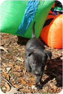 Labrador Retriever Mix Puppy for adoption in Richburg, South Carolina - Oreo
