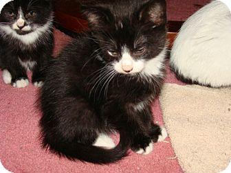 Domestic Shorthair Kitten for adoption in Spotsylvania, Virginia - Willy