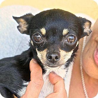 Chihuahua Dog for adoption in Berkeley, California - Packi