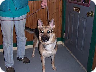 German Shepherd Dog Dog for adoption in Tully, New York - SAMMI