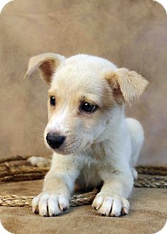 Husky/Australian Shepherd Mix Puppy for adoption in Westminster, Colorado - Mikhail