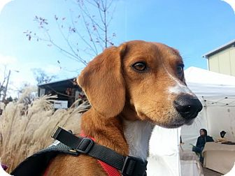 Beagle Mix Dog for adoption in Nashville, Tennessee - Boo