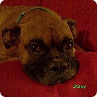 Adopt A Pet :: Stewy - St. Robert, MO