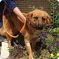 Adopt A Pet :: Pandi - New Canaan, CT