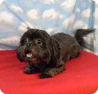 Shih Tzu Dog for adoption in Chester, Illinois - Nadia