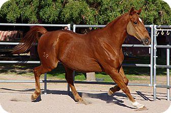 Thoroughbred/Quarterhorse Mix for adoption in Las Vegas, Nevada - J.P.