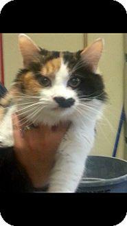 Domestic Mediumhair Cat for adoption in Monroe, Georgia - Calista