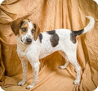 Beagle Mix Dog for adoption in Anna, Illinois - SANDY