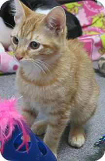 Domestic Shorthair Cat for adoption in Manteca, California - Gerald