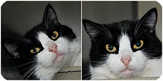 Domestic Shorthair Cat for adoption in Forked River, New Jersey - Zayn