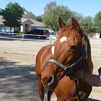 Quarterhorse Mix for adoption in Canyon Country, California - Fancy