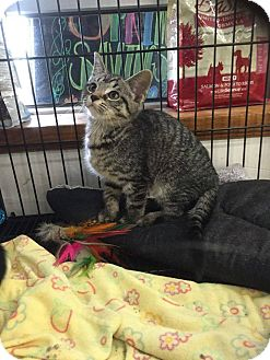 Domestic Shorthair Kitten for adoption in Middletown, Ohio - Angelina