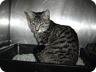 Domestic Shorthair Cat for adoption in Island Heights, New Jersey - Dani
