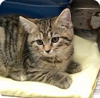 Domestic Shorthair Cat for adoption in North Wilkesboro, North Carolina - Clio