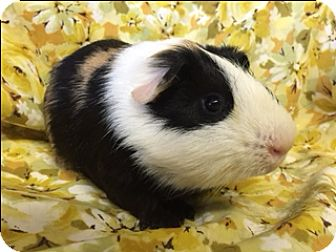 Guinea Pig for adoption in Montclair, California - Peek A Boo