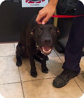 Labrador Retriever/Catahoula Leopard Dog Mix Puppy for adoption in Cerritos, California - Indy