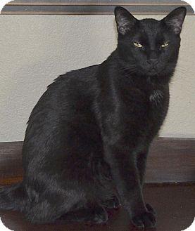Domestic Shorthair Cat for adoption in Buhl, Idaho - Akila
