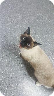 Siamese Cat for adoption in yuba city, California - Minnie