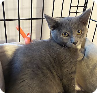 Domestic Shorthair Cat for adoption in Geneseo, Illinois - Dezi