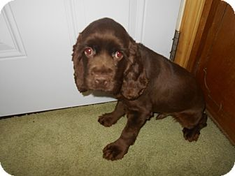 Cocker Spaniel Puppy for adoption in Kannapolis, North Carolina - Dale -Adopted!