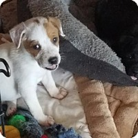 Pointer Mix Dog for adoption in Von Ormy, Texas - Snoopy