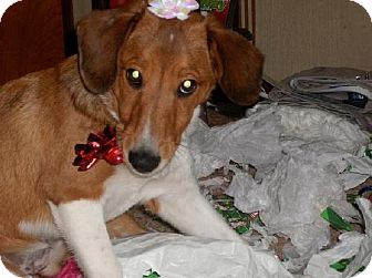 Collie/Beagle Mix Puppy for adoption in Winfield, Pennsylvania - Bella