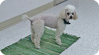 Poodle (Miniature) Mix Dog for adoption in Chambersburg, Pennsylvania - Fluffy