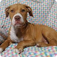 Adopt A Pet :: Capone - Orlando, FL