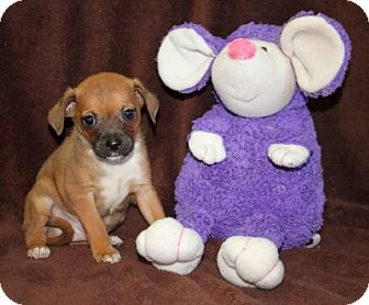Chihuahua Mix Puppy for adoption in Plainfield, Connecticut - Salsa