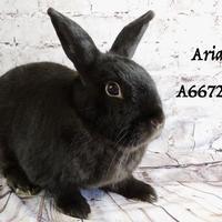 Adopt A Pet :: *ARIAS - Camarillo, CA