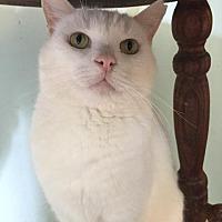 Adopt A Pet :: Snowball - Cambridge, MD