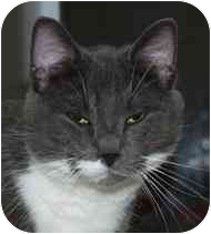 Domestic Mediumhair Cat for adoption in Walker, Michigan - Whiskers