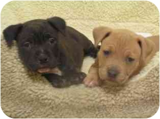 American Pit Bull Terrier Mix Puppy for adoption in Norwalk, Connecticut - Sophie and Athena