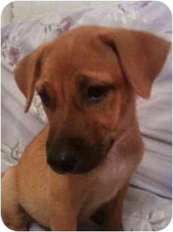 Labrador Retriever/Chow Chow Mix Puppy for adoption in Arlington, Texas - Sandy