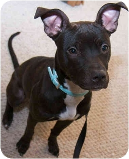 Labrador Retriever/American Pit Bull Terrier Mix Puppy for adoption in Mt. Prospect, Illinois - Duckie
