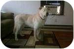 Great Pyrenees/Labrador Retriever Mix Dog for adoption in Paintsville, Kentucky - Kahn