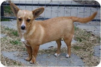 Corgi/Chihuahua Mix Dog for adoption in Edmonton, Alberta - Josie