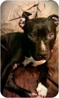 Pit Bull Terrier Mix Dog for adoption in Los Angeles, California - RIZZO